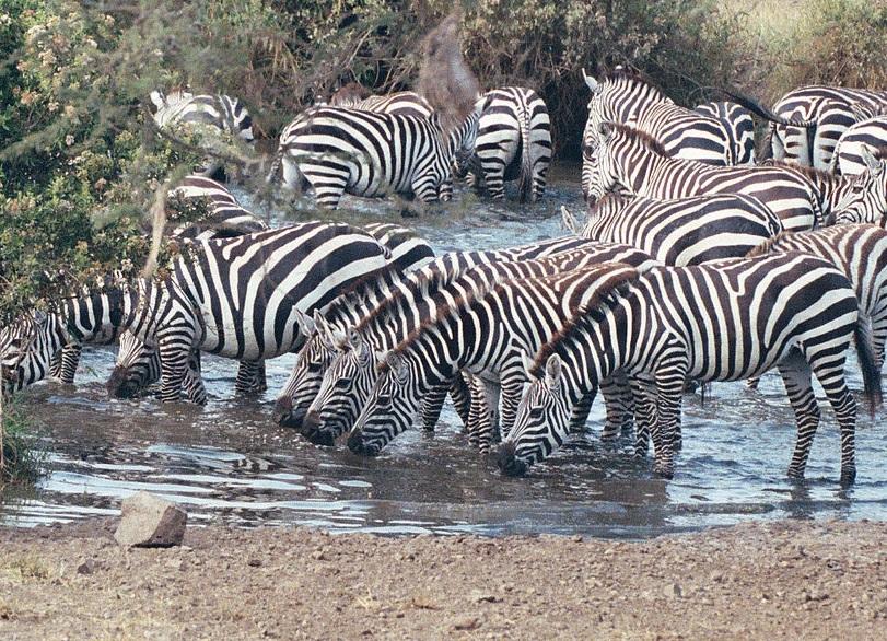Die Zebras leben in einer Schiessbude
